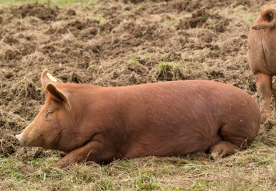 Tamworth Hog from Southwestern Pennsylvania