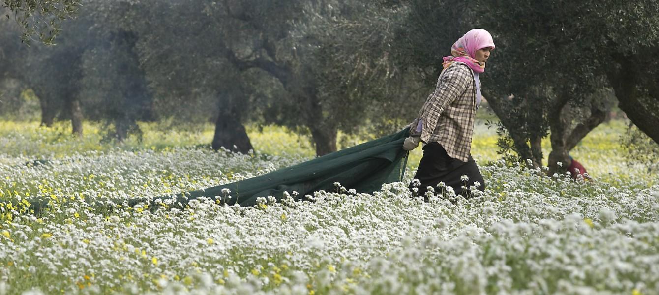 Mahjoub olive harvest