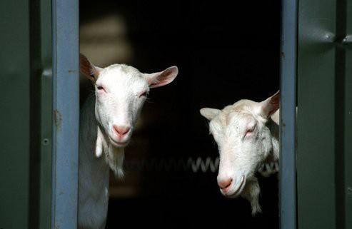 Goats for brabander