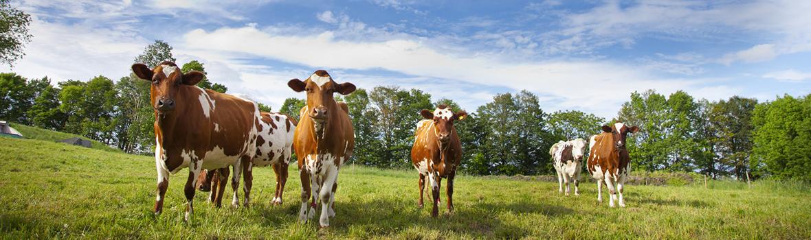Ayrshire cows